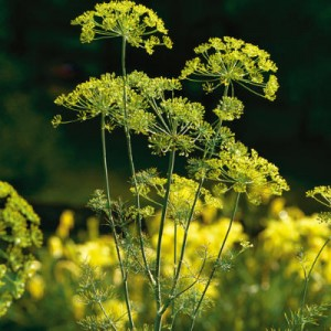 fresh-dill-l[fusion_builder_container hundred_percent=