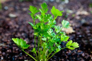 garden-parsley-a[fusion_builder_container hundred_percent=