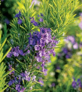 rosemary2[fusion_builder_container hundred_percent=